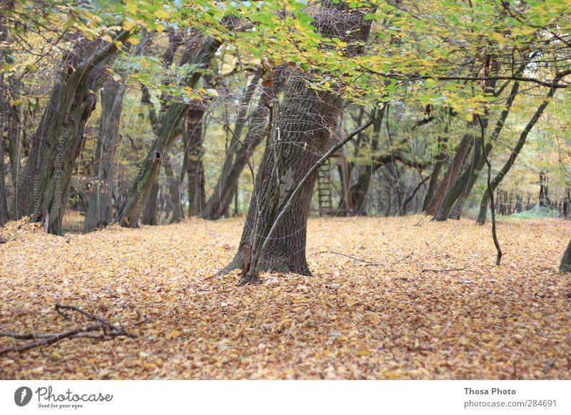 Wäldchen Natur grün Baum Blatt Landschaft Wald gelb Herbst Holz braun Park gold Hochsitz