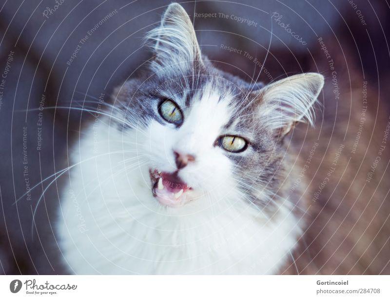 Nachruf Tier Haustier Katze Tiergesicht Fell 1 niedlich schön Miau langhaarig Türkisch Angora Katzenauge Schnurrhaar Katzenohr Landraubtier Gruß Begrüßung