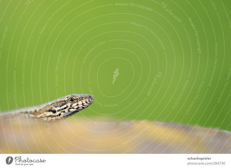 Jemand da? Tier Wildtier Reptil 1 Stein Neugier braun grün Natur Echte Eidechsen Mauereidechse Lacertidae Podarcis muralis Kopf Auge Maul Schüchternheit