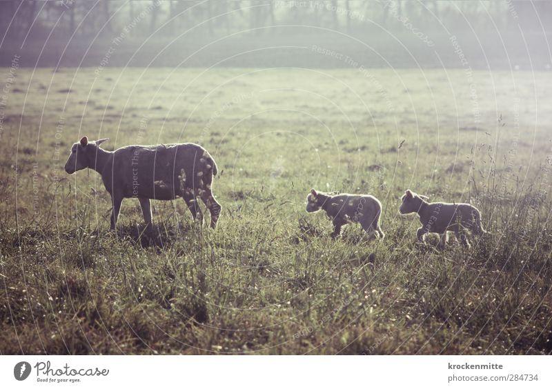 ins Trockene bringen Natur Landschaft Gras Tier Nutztier Fell Schaf Lamm 3 Tiergruppe Tierjunges Tierfamilie gehen Zusammensein grün Glück Geborgenheit