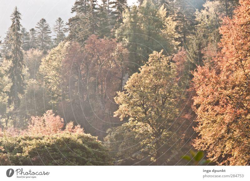 Es lichtet sich... Natur Pflanze Baum Blatt Landschaft Wald Umwelt Herbst natürlich Schönes Wetter Jahreszeiten Herbstlaub Umweltschutz Wildpflanze Rumänien