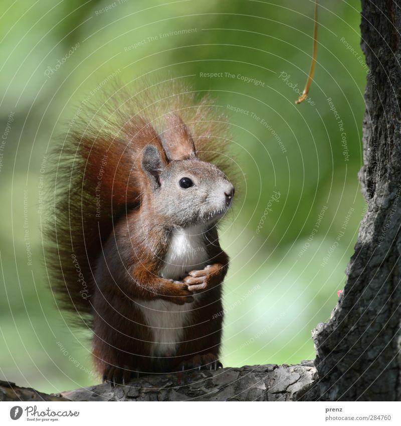 Hypnohörnchen Natur grün Baum Tier Umwelt braun sitzen Wildtier stehen niedlich Eichhörnchen Baumrinde Nagetiere