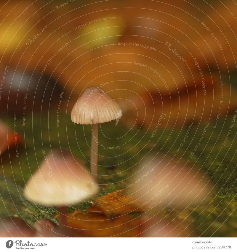 uups, nachzügler... Umwelt Natur Pflanze Herbst Moos Wildpflanze Pilz Wald dünn authentisch einfach frisch hoch klein nah natürlich Spitze braun entdecken