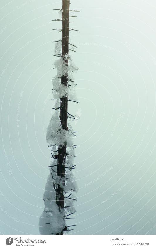 eis am stiel Baum Winter kalt Schnee Eis Frost türkis Tanne Baumkrone kahl gerade stachelig Nadelbaum Tannennadel Tannenzweig