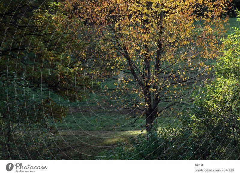 die letzten Strahlen... Natur grün Pflanze Baum Landschaft Wald gelb Umwelt dunkel Wärme Herbst Blüte Garten braun Park gold