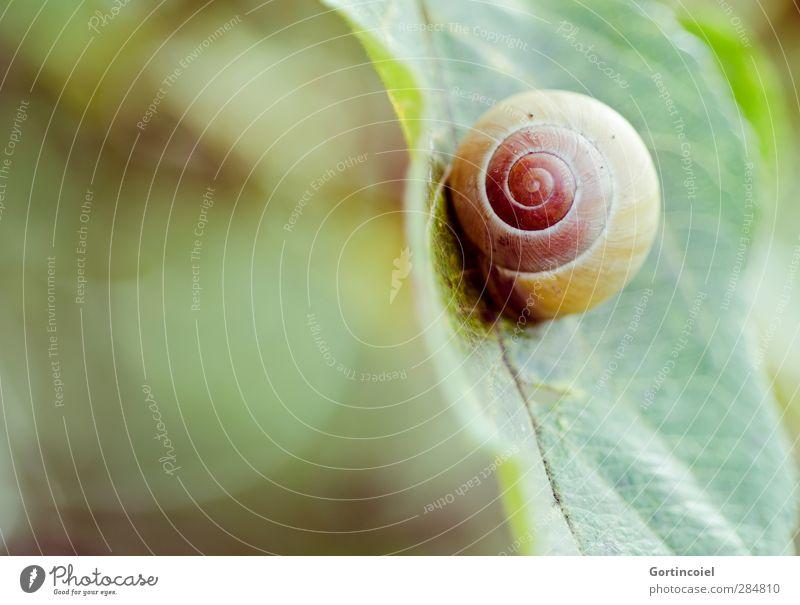 Perfektion Umwelt Natur Herbst Pflanze Blatt Tier Schnecke 1 rund Schneckenhaus Spirale Farbfoto Außenaufnahme Textfreiraum links Textfreiraum unten