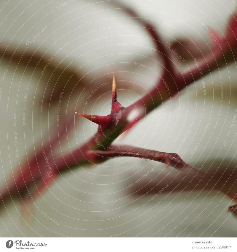 der Teufel steckt im Detail Umwelt Natur Pflanze Herbst Sträucher Grünpflanze Wildpflanze Dorn Dornenbusch dünn authentisch einfach kalt klein natürlich Spitze