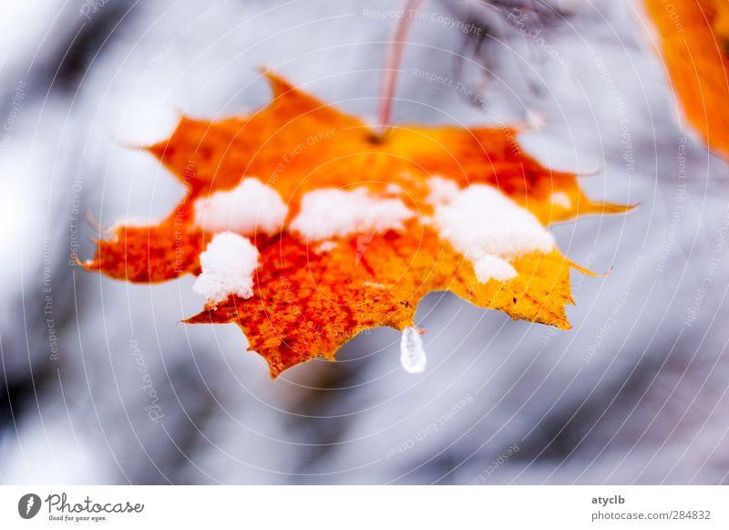 Letzter Herbstgruß / Last autumn greeting Pflanze rot Blatt Wald Herbst Schnee grau braun Park Eis orange Coolness Frost frieren