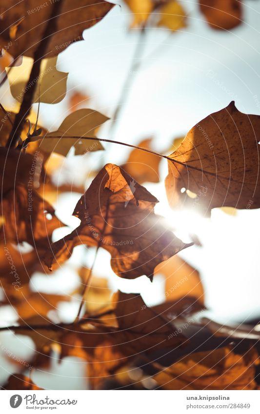 sonne hilft! Himmel Natur Sonne Blatt Umwelt Wärme Herbst orange leuchten Vergänglichkeit Wandel & Veränderung Herbstlaub Gegenlicht