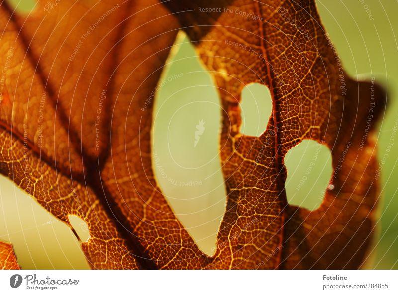 HERBSTliche Gruselfratze Natur schön Blatt Umwelt Herbst braun natürlich Herbstlaub herbstlich Blattadern