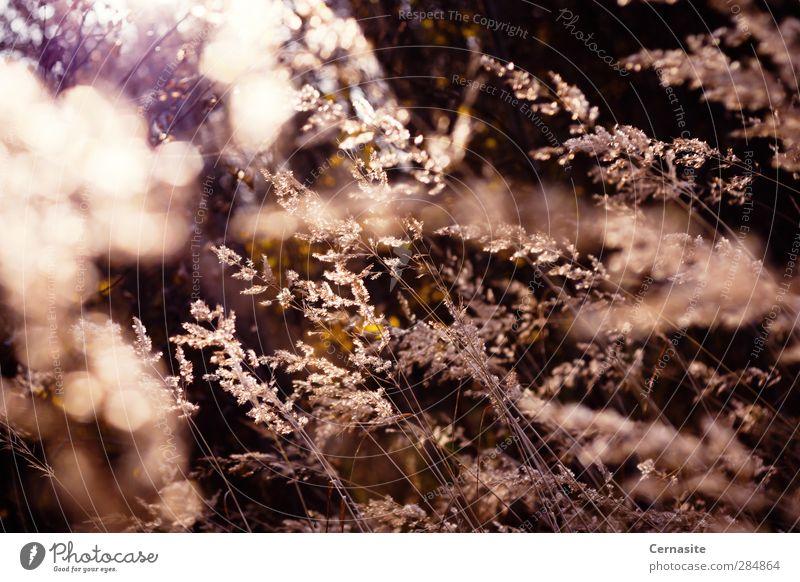 Melodie des Herbstes Natur Landschaft Pflanze Sonnenlicht Gras Grünpflanze Wildpflanze Wiese Feld ästhetisch dunkel authentisch wild weich gelb Unschärfe
