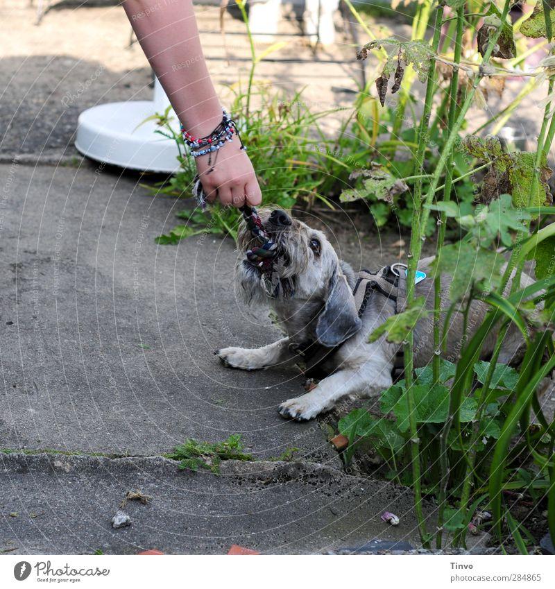 Gib das her! Hund grün Hand Tier Spielen grau Garten Kraft Arme Schnur Lebensfreude Konflikt & Streit Haustier frech Zerreißen
