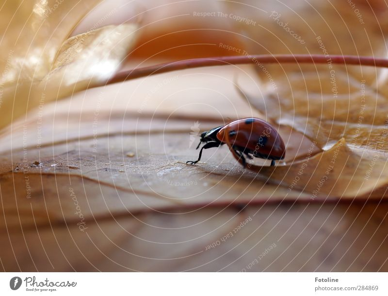 Schnell noch ein Kostüm besorgen! Umwelt Natur Pflanze Tier Urelemente Wasser Wassertropfen Herbst Blatt Wildtier Käfer 1 klein nah natürlich gelb rot schwarz