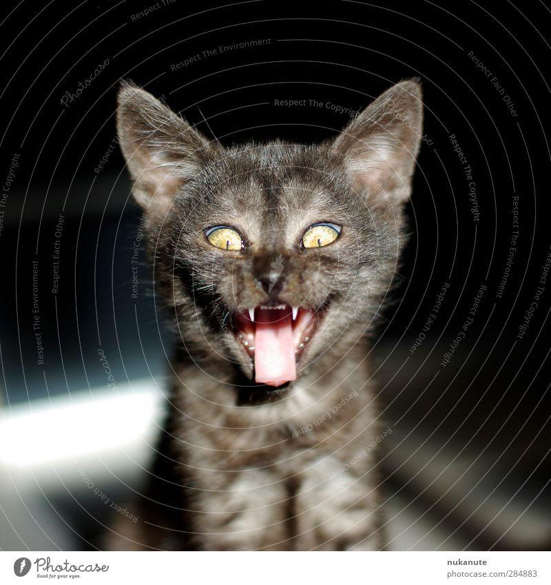 Frech-Katz Katze Tier schwarz lachen Tierjunges grau braun Coolness Tiergesicht gruselig skurril Haustier frech Halloween Katzenbaby Katzenzunge