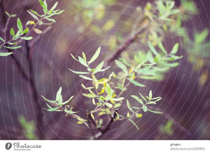 Herbst kommt langsam und geht schnell Umwelt Natur Klima Pflanze Sträucher braun grün Wachstum färben Licht Schatten gelb ausdünnen wenige Ast Strebe Blatt