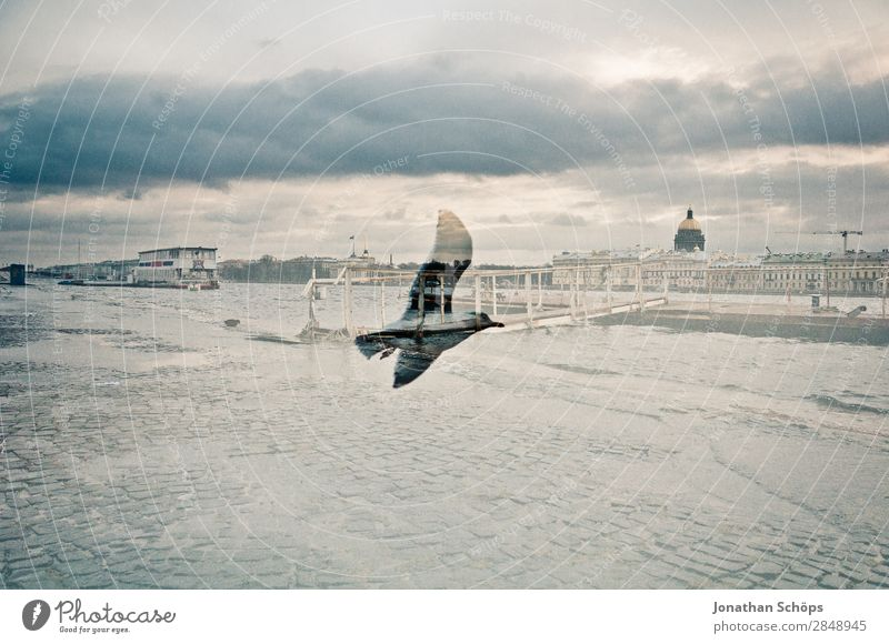 Doppelbelichtung Möwe und St. Petersburg Stadt Hauptstadt Stadtzentrum bevölkert Tier Vogel Flügel 1 ästhetisch Möwenvögel Russland kalt trüb Himmel Fluss