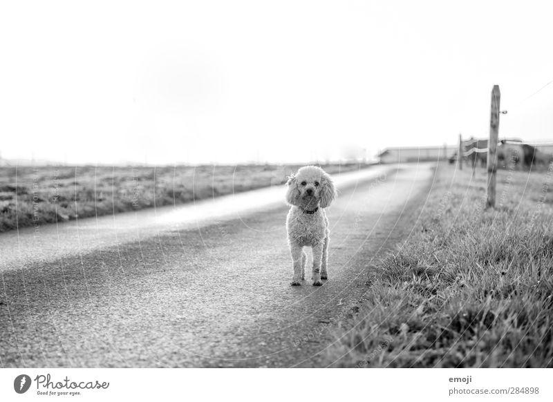 on the road Umwelt Natur Landschaft Himmel Wiese Feld Tier Haustier Hund 1 natürlich Neugier Straße Wege & Pfade malteser Schwarzweißfoto Außenaufnahme