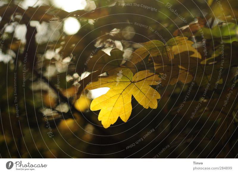 Bevor der Tag sich neigt Natur Pflanze Herbst Blatt Wald schön ruhig Ruhe Blattadern herbstlich Stimmung durchscheinend zart Farbfoto Außenaufnahme Menschenleer