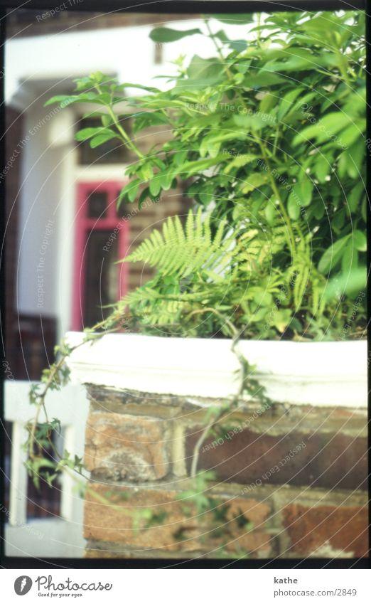 rote tuer grün Pflanze Haus Mauer Tür Echte Farne