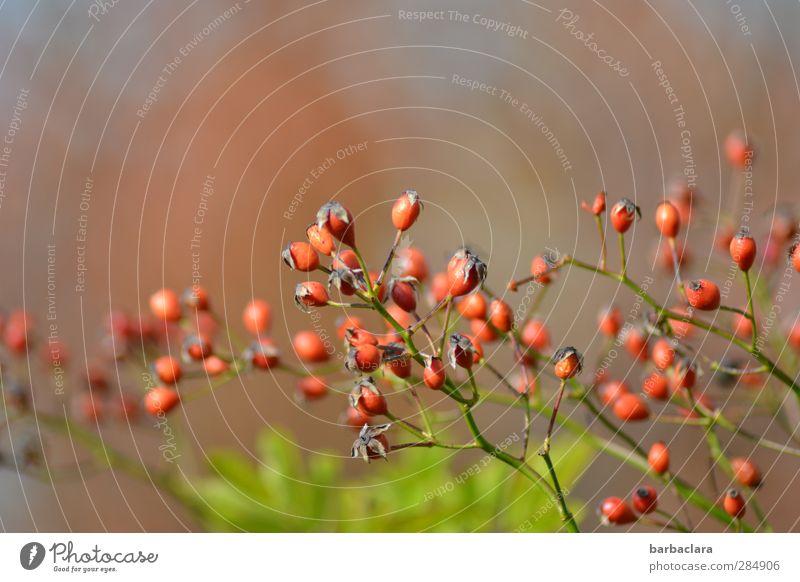 Rosenfrüchte Natur grün Pflanze rot Farbe Blatt Herbst klein Garten Gesundheit Stimmung Frucht wild leuchten ästhetisch Sträucher