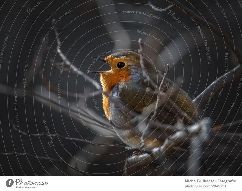 Singendes Rotkehlchen in der Abendsonne Natur blau Baum Tier schwarz gelb sprechen Auge natürlich orange Vogel leuchten Kommunizieren Wildtier sitzen Feder