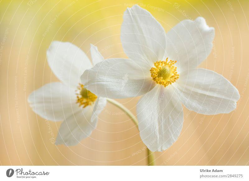Weiße Anemonen elegant Wellness Leben harmonisch Wohlgefühl Zufriedenheit Erholung ruhig Meditation Kur Spa Dekoration & Verzierung Tapete Feste & Feiern