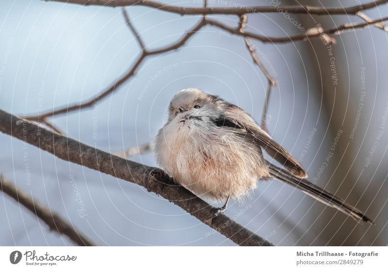 Aufgeplusterte Schwanzmeise Himmel Natur blau weiß Baum Tier schwarz Auge natürlich orange Vogel Wildtier stehen Feder Schönes Wetter Flügel