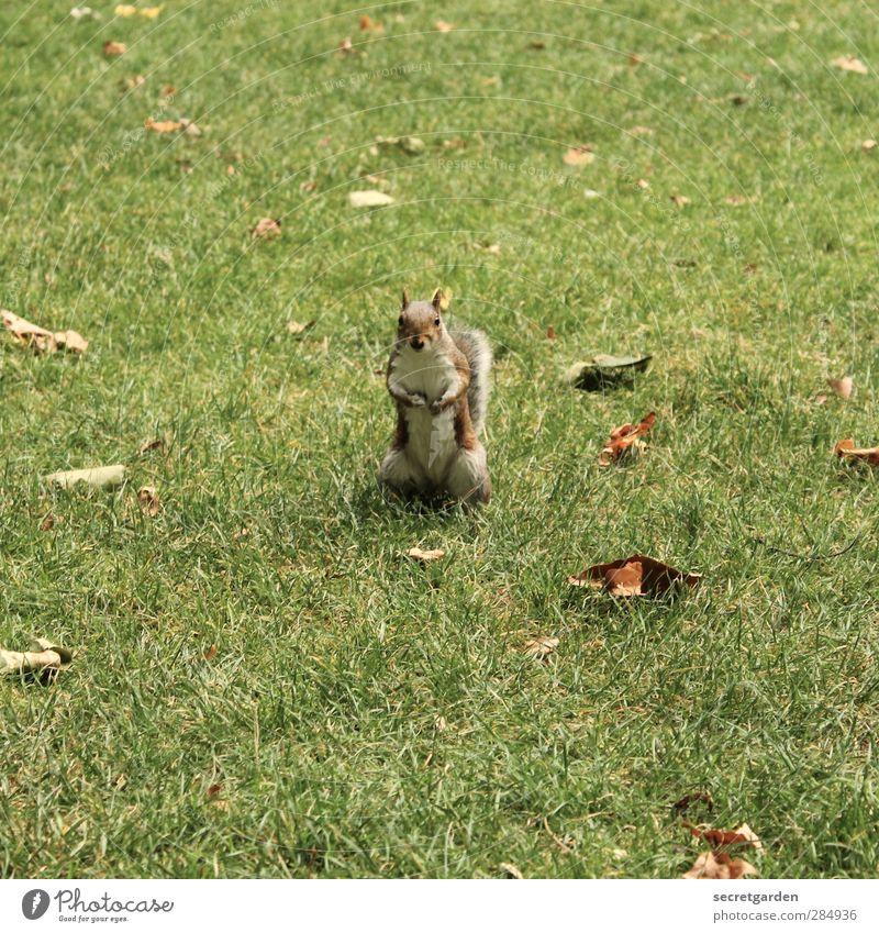 Weißt DU, wo meine [700] Nüsse versteckt sind??? Natur grün Tier Umwelt Herbst Gras Garten braun Park Wildtier Schönes Wetter niedlich Neugier Mitte