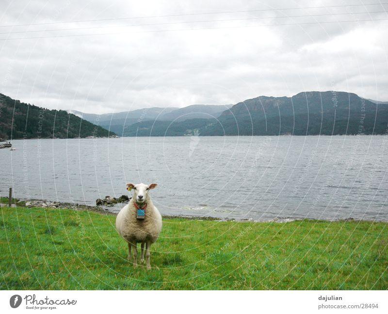 Das Schaf Natur Tier Wiese Berge u. Gebirge Verkehr Grad Celsius