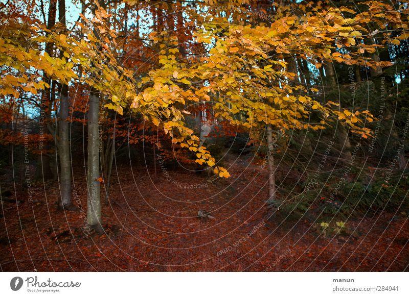 Herbstwald Natur Landschaft Baum Blatt Herbstlaub herbstlich Herbstfärbung Herbstbeginn Herbstwetter Herbstlandschaft Wald authentisch natürlich gold Idylle