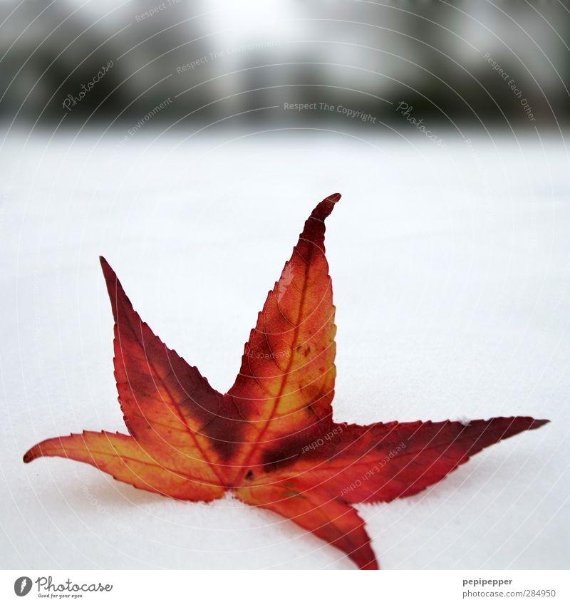 Farbe bekennen weiß Pflanze rot Blatt Winter Schnee Garten Horizont Eis Park Erde leuchten Frost