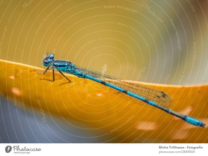 Blaue Libelle auf einem Blatt Umwelt Natur Tier Sonnenlicht Schönes Wetter Wildtier Tiergesicht Flügel Beine Auge Insekt 1 glänzend krabbeln leuchten sitzen