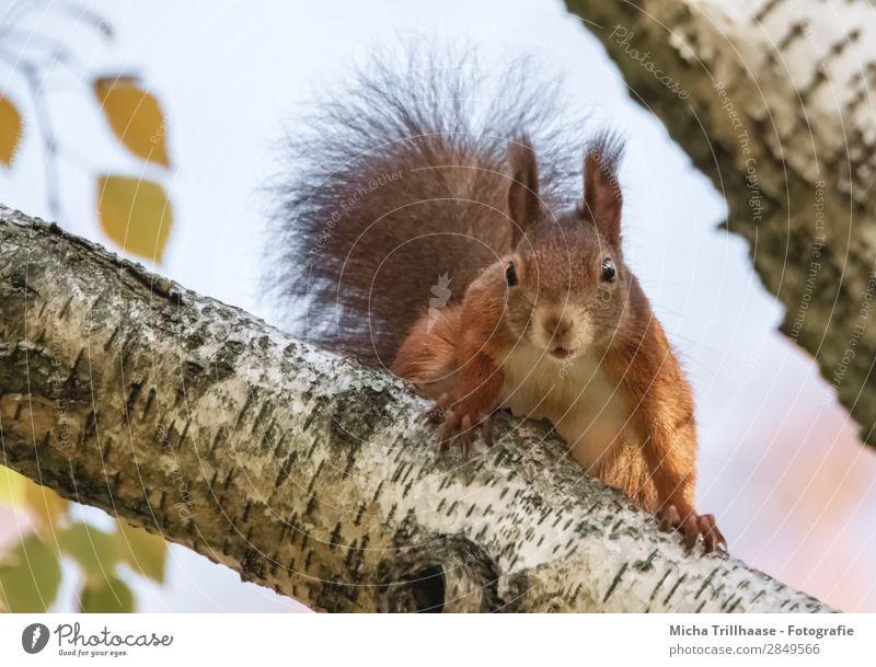 Neugieriges Eichhörnchen im Baum Natur Tier Himmel Sonnenlicht Schönes Wetter Wildtier Tiergesicht Fell Krallen Nagetiere Kopf Auge Ohr Schwanz 1 beobachten