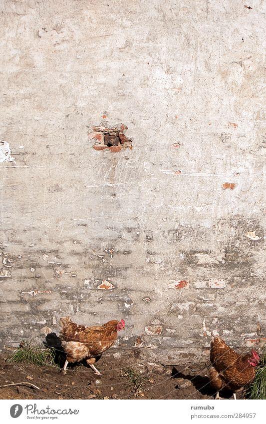 Mauerhühner Tier Wiese Wand grau Sand Garten Vogel Fassade dreckig laufen Landwirtschaft Dorf Bauernhof Ei Bioprodukte