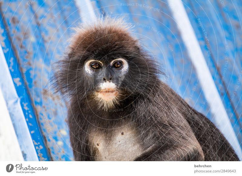 achtsam   brillenlanguren Tierschutz Umweltschutz Asien Ferien & Urlaub & Reisen Ferne Freiheit Tourismus Ausflug Abenteuer Urwald Wildtier Tiergesicht Fell