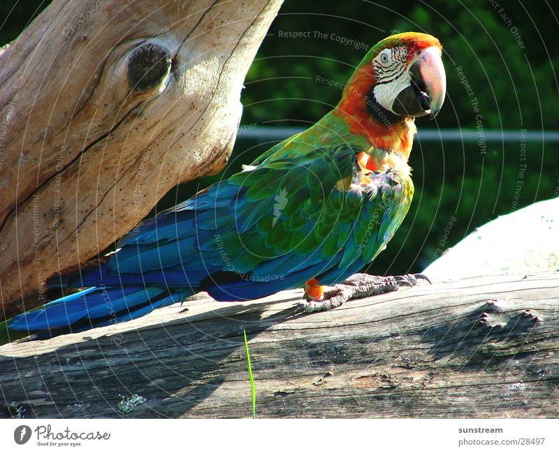Papagalli Papageienvogel Vogel Zoomeffekt Tier Farbe