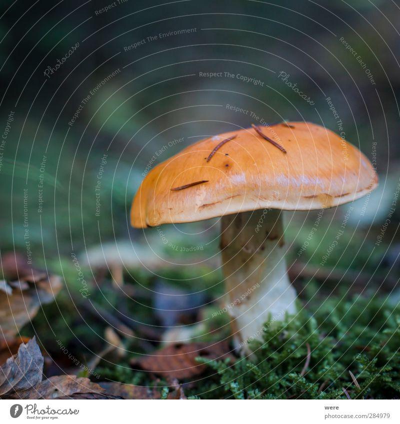 Ein Männlein steht im Walde... Natur Blatt Herbst Essen Gesundheit Lebensmittel Herbstlaub Pilz