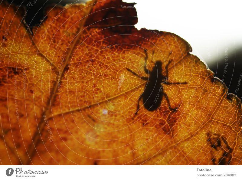 HERBSTschatten Umwelt Natur Pflanze Tier Herbst Blatt Käfer nah natürlich braun schwarz Herbstlaub herbstlich krabbeln Farbfoto mehrfarbig Außenaufnahme