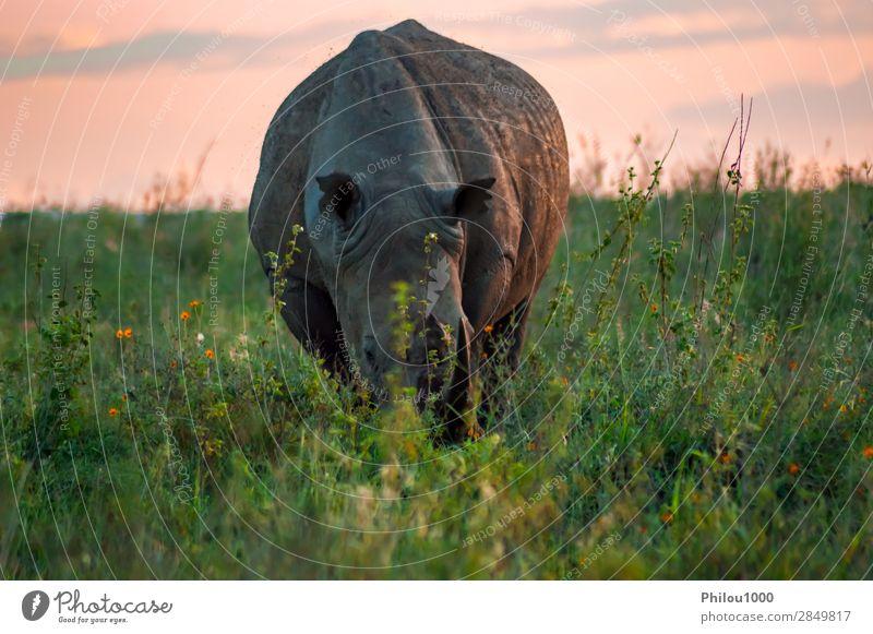 Weißes Nashorn in der Savanne Tourismus Safari Natur Tier Gras Park natürlich wild weiß Nairobi Afrika Afrikanisch groß Buchse Ceratotherium gefährdet Fauna