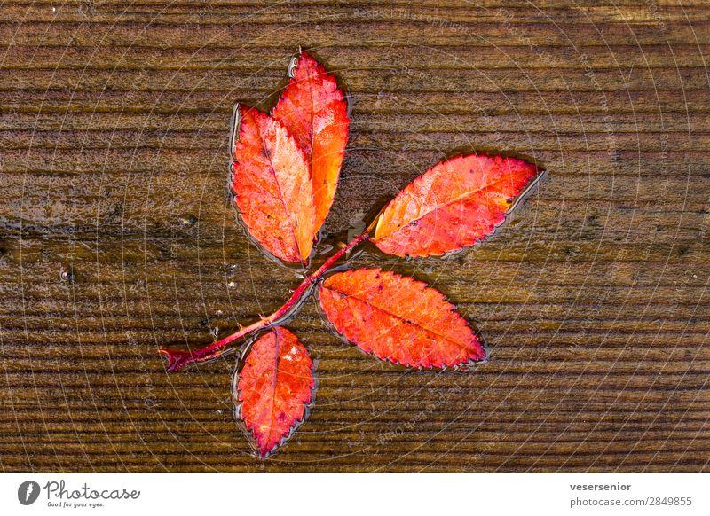 Herbstliebe Pflanze Regen Ebereschenblätter glänzend nass schön rot Gefühle Liebe Romantik Glaube demütig Senior ästhetisch einzigartig Ende Farbe