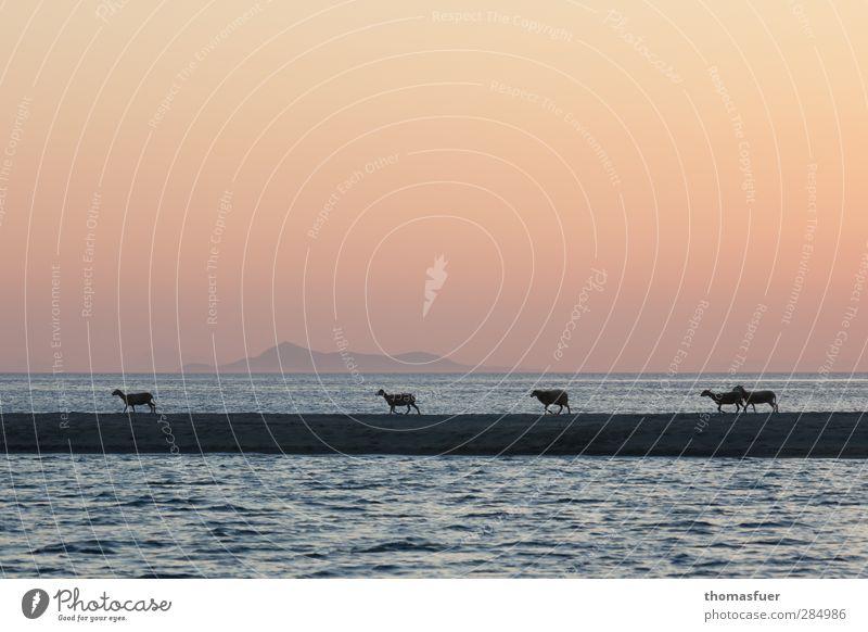 Lammkoteletts oder schönste Schlaftablette :)) Lammbraten Sommer Sonne Strand Meer Insel Wolkenloser Himmel Schönes Wetter Wellen Küste Bucht Tier Nutztier