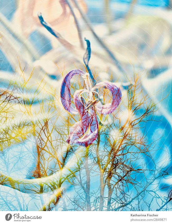 Tulpe verblüht Doppelbelichtung Kunst Natur Pflanze Frühling Sommer Herbst Winter Blume Blatt Blüte Blumenstrauß leuchten blau gelb gold grün violett orange