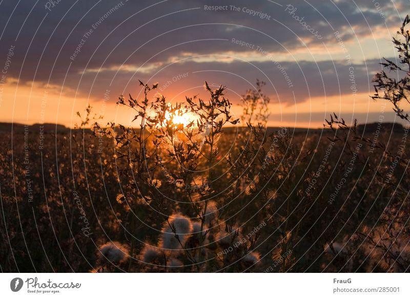morgen geht sie wieder auf Natur Himmel Wolken Sonne Sonnenaufgang Sonnenuntergang Sommer Wildpflanze Samen Feld leuchten Traurigkeit verblüht Stimmung