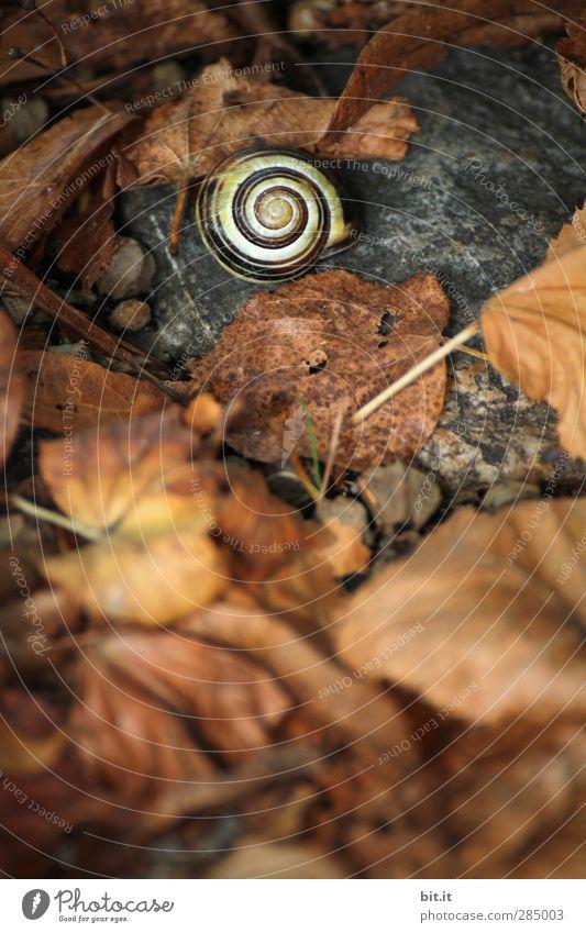 Mein Haus, mein Garten, meine Bestätigung... Umwelt Natur Erde Herbst Park Wiese Schnecke liegen schlafen dehydrieren dunkel rund trocken unten braun