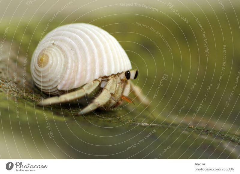Einsiedlers Wohnmobil Haus Wohnung Wohnungssuche Umzug (Wohnungswechsel) Einsiedlerkrebs hermit crab Schneckenhaus Muschel Krebstier krabbeln tragen