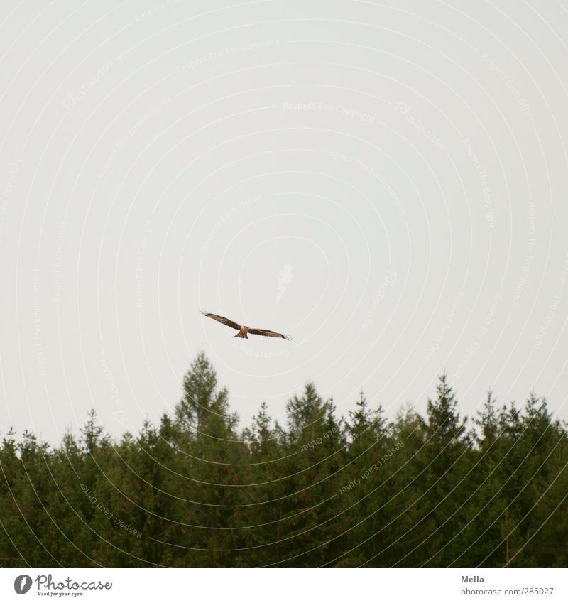Abgehoben Umwelt Natur Luft Baum Baumkrone Tannenzweig Wald Nadelwald Tier Vogel Milan Roter Milan 1 fliegen frei natürlich grau Freiheit gleiten Suche Farbfoto