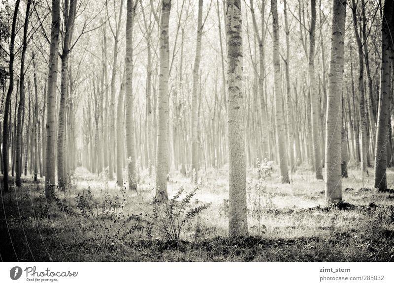Birkenwald in Schwarzweiß Erholung ruhig Landwirtschaft Forstwirtschaft Säge Kunst Umwelt Natur Landschaft Urelemente Sommer Schönes Wetter Baum Gras Sträucher