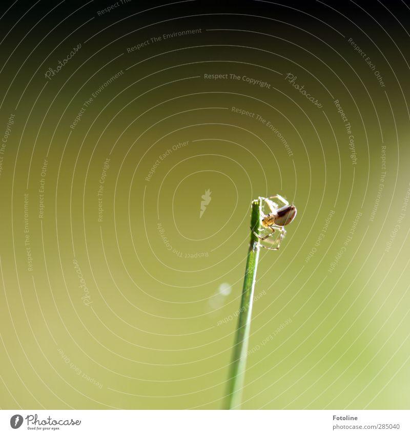 Du spinnst doch! Umwelt Natur Pflanze Tier Herbst Gras Wiese Wildtier Spinne 1 hell klein natürlich grün spinnen Halm Farbfoto mehrfarbig Außenaufnahme