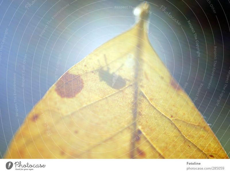Lichtblick Umwelt Natur Pflanze Tier Herbst Schönes Wetter Blatt Käfer hell nah natürlich gelb Blattadern Insekt herbstlich Farbfoto mehrfarbig Außenaufnahme