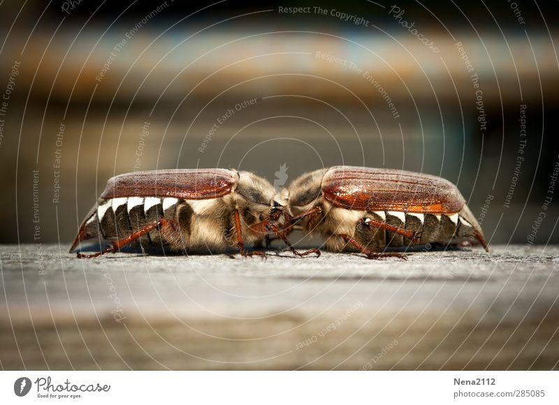 glücklich | glücklich verliebt <3 Natur Tier Frühling Glück braun Kraft glänzend Tierpaar paarweise niedlich berühren Freundlichkeit streichen Insekt Küssen